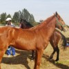 RURAL OUTREACH GELDING CLINIC IN DUNDEE