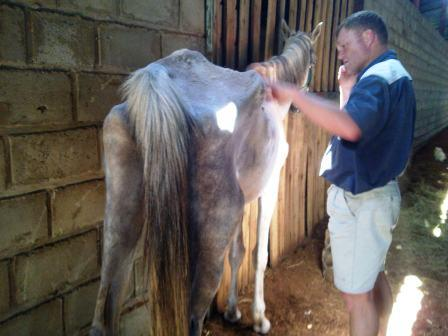Dr Craig Pryke checks to see if this mare will be fit to travel
