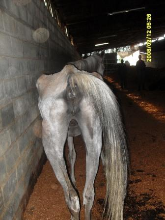 Grey Mare severely emaciated