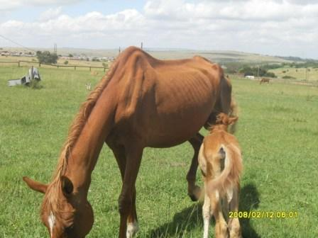 would a responsible breeder have allowed this mare to have a foal
